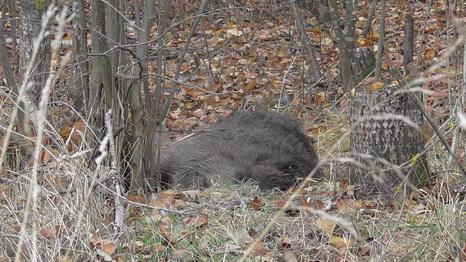 В Барановичах браконьеру дали 1,5 года условно за убитого кабана