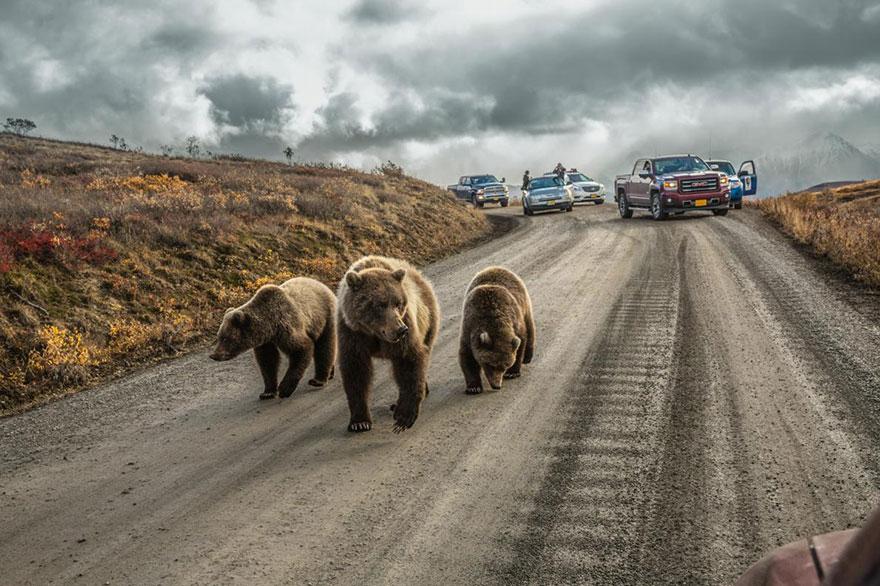 Из-за гризли с медвежатами образовалась «Медвежья пробка». 150-километровая дорога в национальном парке Денали на Аляске. Фото: AARON HUEY, boredpanda.com