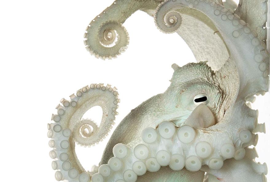 Осьминог обыкновенный. Фото: DAVID LIITTSCHWAGER, boredpanda.com