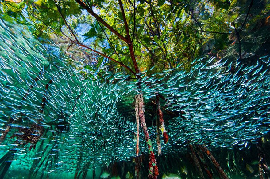 Коралловые рифы на кубе. Атеринообразные рыбы плавают в корнях мангровых деревьев. Фото: DAVID DOUBILET AND JENNIFER HAYES, boredpanda.com