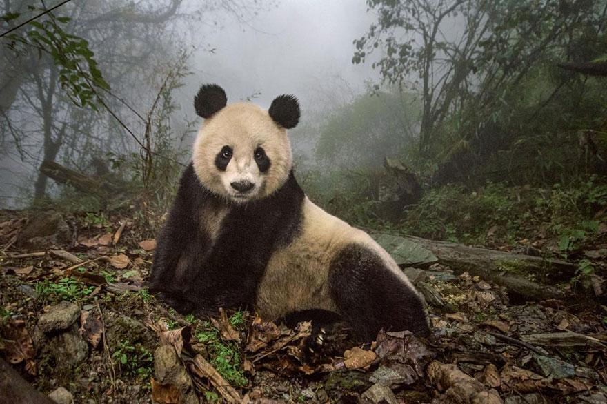 Природный заповедник Волун, Китай. 16-и летняя панда по имени Е-Е. Фото: AMI VITALE, boredpanda.com