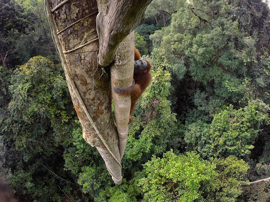 Калимантанский орангутан на высоте 30 метров. Фото: TIM LAMAN, boredpanda.com