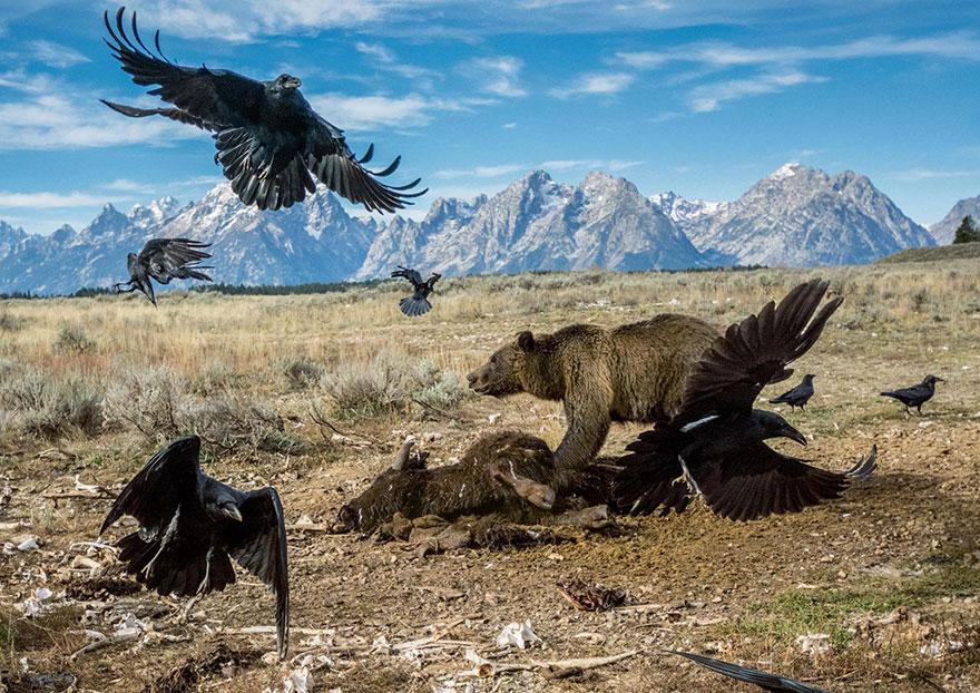 Национальный парк Гранд-Титон, США. Гризли отгоняет воронов от туши бизона. Фото: HAMILTON JAMES, boredpanda.com