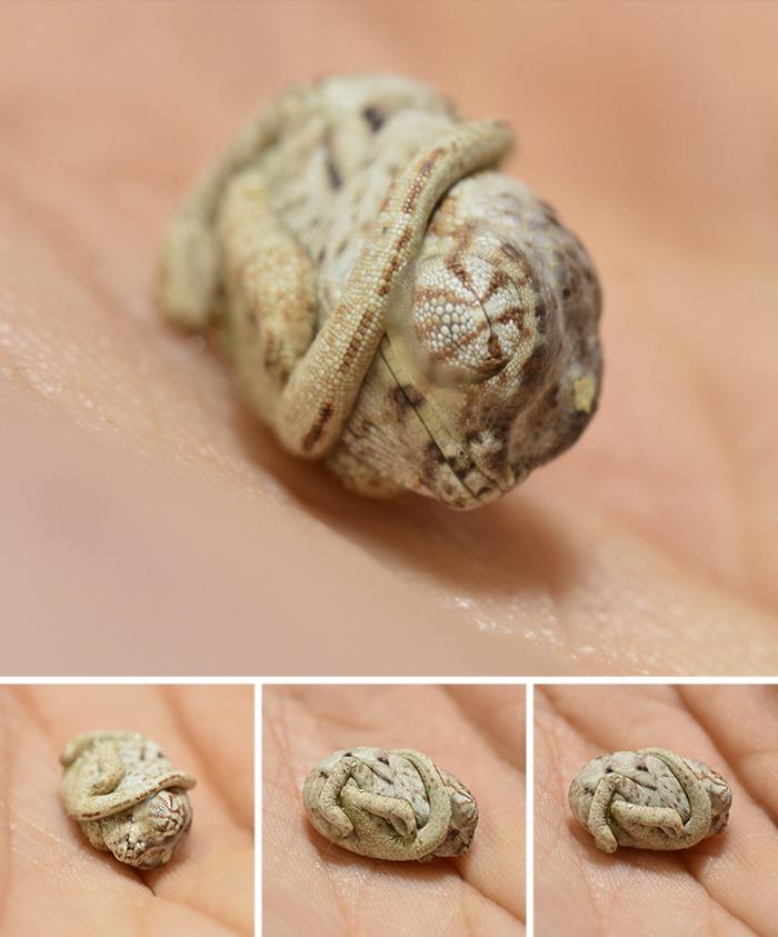 Дтеныш хамелеона, который только что вылупился из яйца. Фото: Canvas Chameleons, boredpanda.com