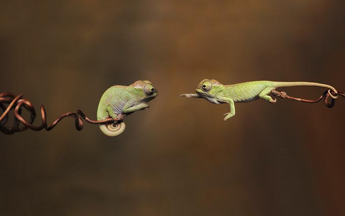 Два хамелеончика тянутся друг к другу. Фото: Igor Siwanowicz, boredpanda.com