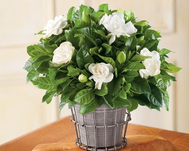 growing-gardenia-in-pots-2