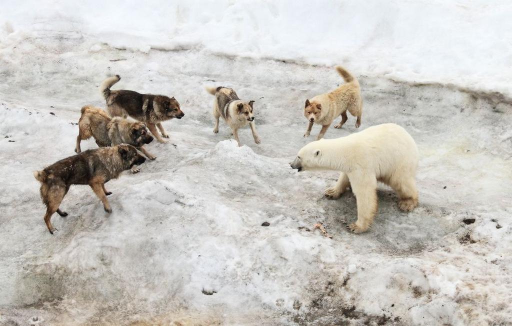 Фото: Эрик Смит для National Geographic. Потепление в Арктике, наблюдаемое последние несколько лет, привело к значительном сокращении ледового покрова, который является критически важным для белых медведей, поскольку в таких условиях они не могут охотиться. Из-за нехватки еды они все чаще начали выходить к населенным пунктам. Глобальное потепление меняет поведение животных, они становятся агрессивнее и, следовательно, могут чаще нападать на людей.
