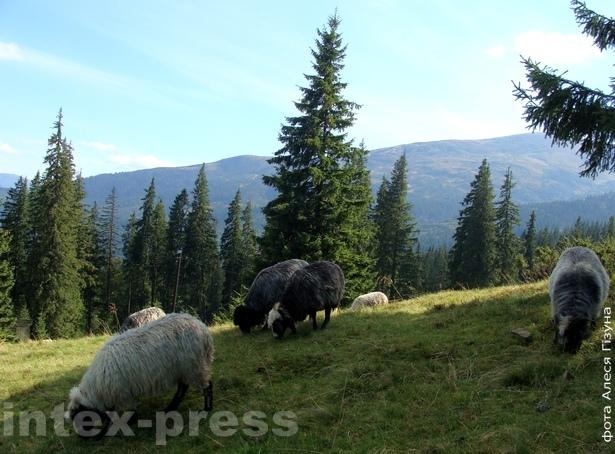 Атары авечак на горных схілах - звычайны карпацкі пейзаж