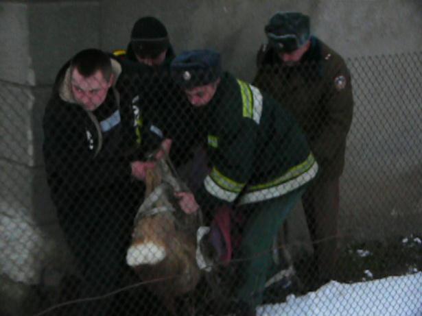 Сотрудники МЧС  увезли  животное из города