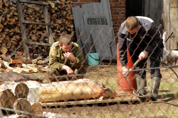 Несмотря на то, что приказа уничтожать свиней не было, жители одного из подворий в д. Севрюки «на всякий пожарный» закололи своих поросят