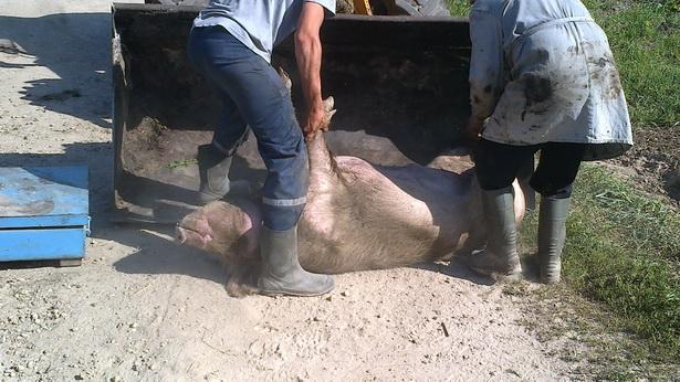 На собрании в д. Приозерное 31 августа сельчане недоумевали, почему их свиней приказано убить, а на «Восточном» животные останутся в целости и  сохранности