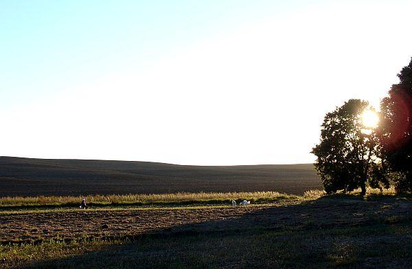 Захад сонца над полем з прыбранаю бульбай.  Фота -- Алесь Гізун