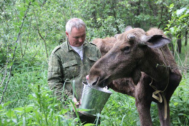 Лосенка кормили козьим молоком и комбикормом. Фото Александр Трипутько.