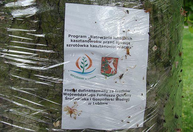 Інфармацыя пра рэалізацыю праграмы лекавання каштанаў на хворых дрэвах у парку ў польскім Любліне