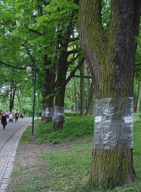 Так у польскім Любліне пазначаюцца каштаны, якім зрабілі ўколы ад каштанавай молі