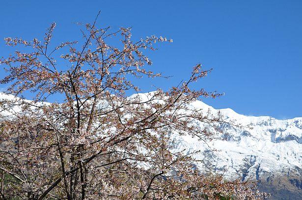 Сакура цвіце... Непал, Гімалаі.
