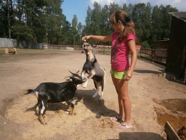 Козы, чтобы получить угощение, демонстрируют различные трюки. фото Натальи Семенович