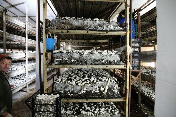 Первые грибы собирают на 20-й день посадки.