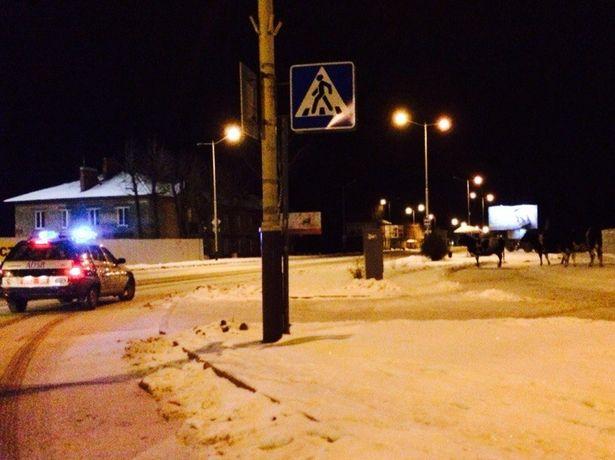 Коровы на ночных улицах города Барановичи.. Илья Говша
