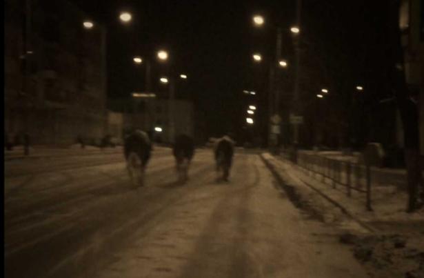 Коровы на ночных улицах города Барановичи