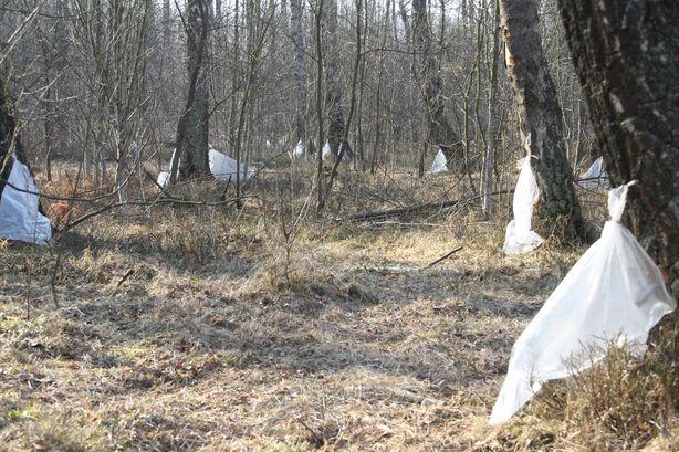 На делянке в 9 гектаров размещено 400 мешков для сбора сока. Фото: Александр ТРИПУТЬКО.