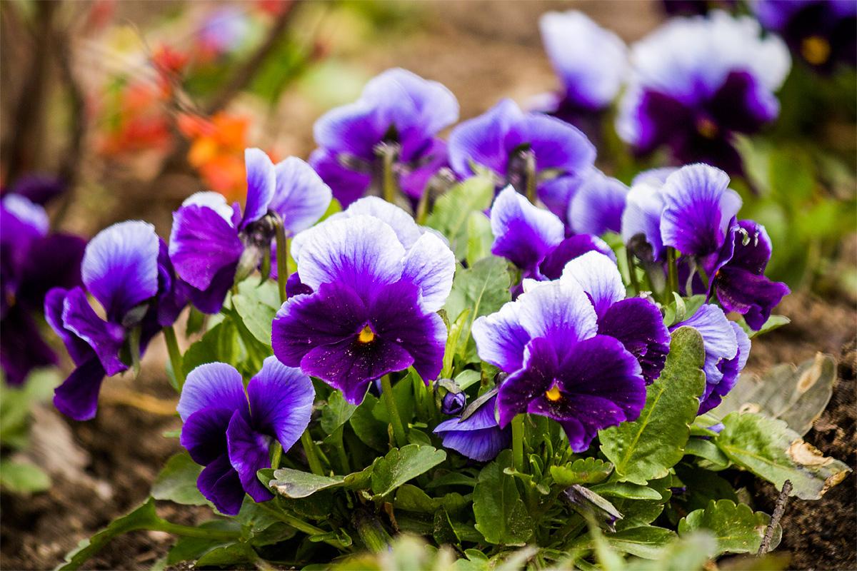 Весенние цветы на улицах города Барановичи. Фото: Юрий ПИВОВАРЧИК