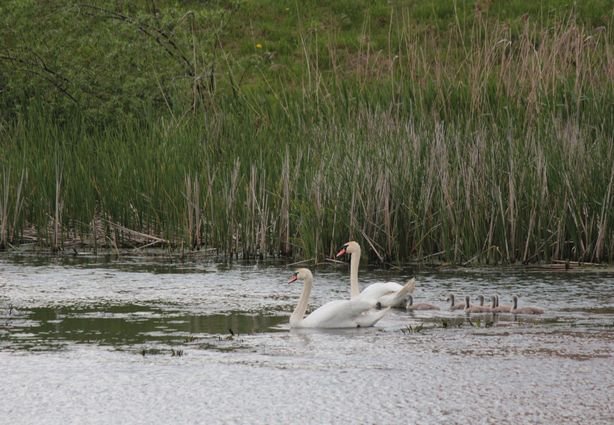 Лебединое семейство на прогулке.