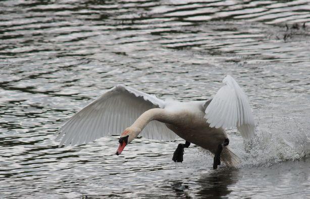 Лебедь Гоша атакует.