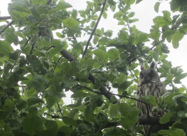 Ушастая сова. Фото семьи Микулик.