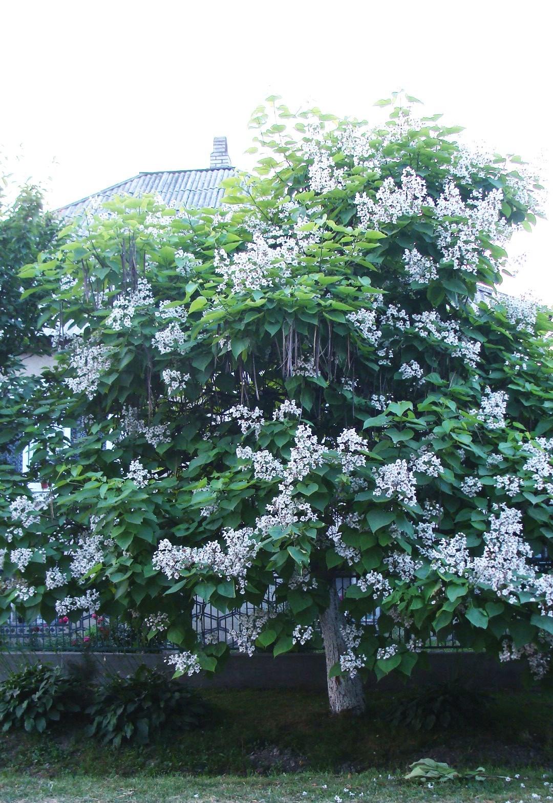 Дерево катальпы усыпано цветами и плодами в Карпатах. Фото: Оксана МАРЦЫНКЕВИЧ