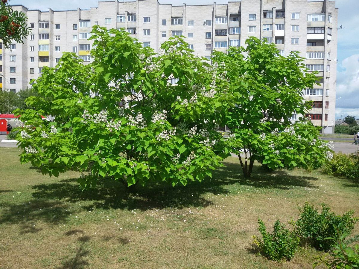 Дерево катальпы у Дома школьников.  Фото: Оксана МАРЦЫНКЕВИЧ