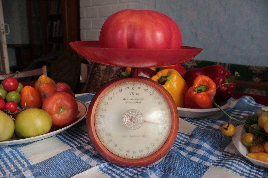 Помидор-гигант весит почти 1 килограмм. Фото: Юрий ПИВОВАРЧИК.