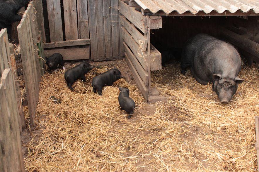 Вьетнамская свинья Фрося с поросятами. Фото: Юрий ПИВОВАРЧИК.