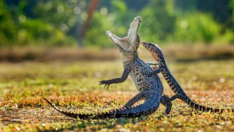 «Fighting» – бойка яшчуркі і кракадзіла. Фота: Hendy Lie, Indonesia, Entry, Open, Nature