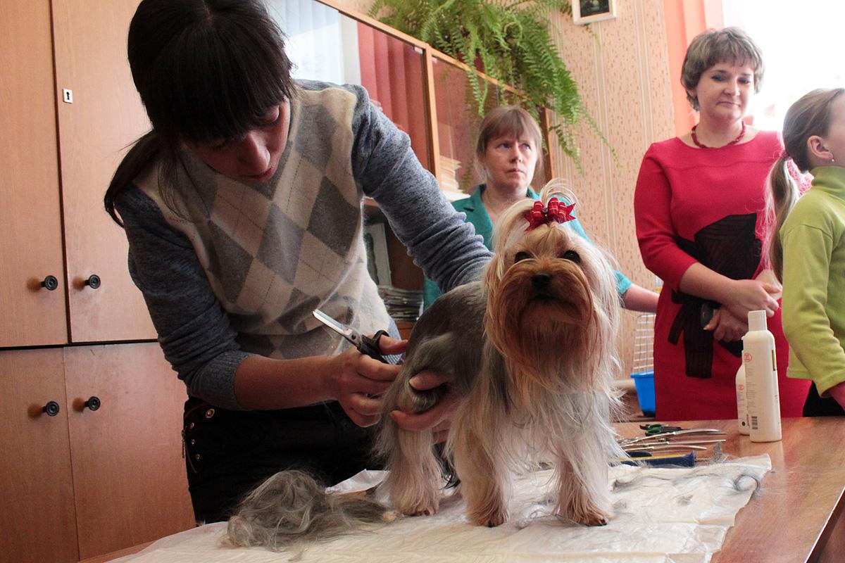 Йоркширский терьер Белли (1 год) – модель мастер-класса по стрижке собак. Фото: Юрий ПИВОВАРЧИК