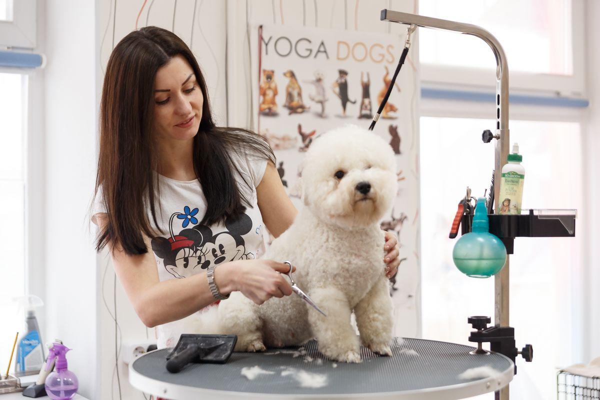 Бишону фризе Жанны Дрозд повезло: хозяйка сама может подстричь своего питомца и сделать собаке прическу. Фото: Александр КОРОБ