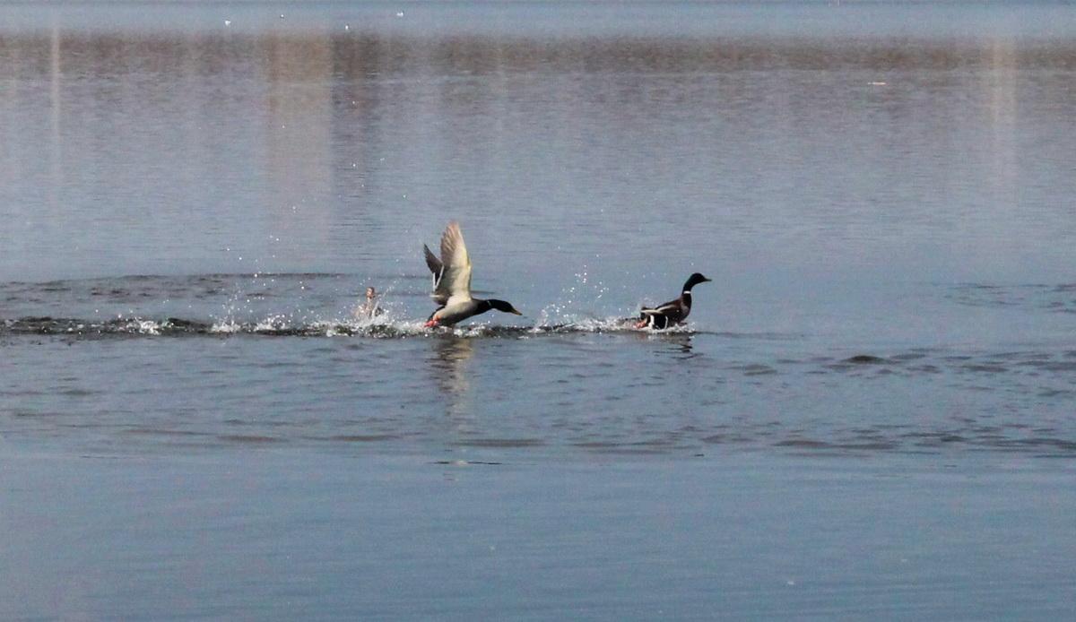 По соседству с чайками плавают и утки. Фото: Татьяна МАЛЕЖ.