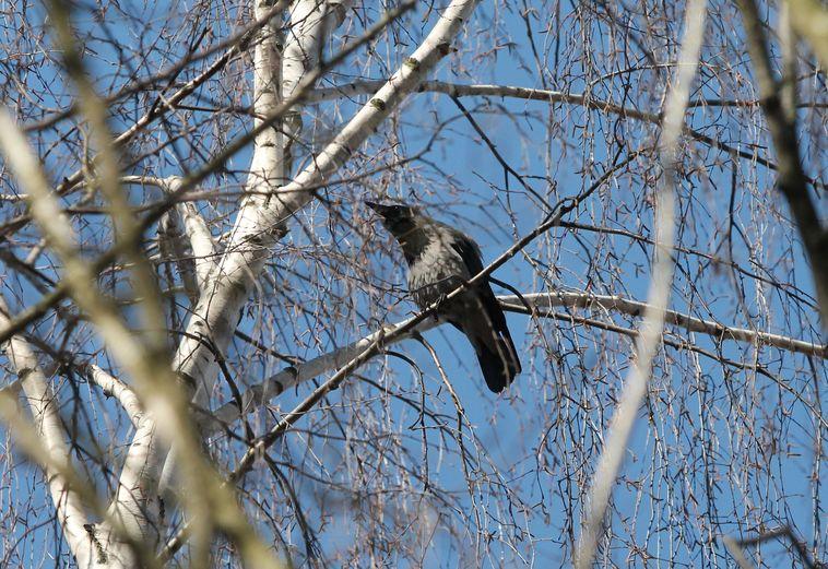 На деревьях вьют гнезда вороны. Фото: Александр КОРОБ