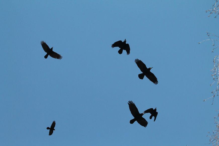 Орнитологи говорят, что это грачи. Фото: Александр КОРОБ