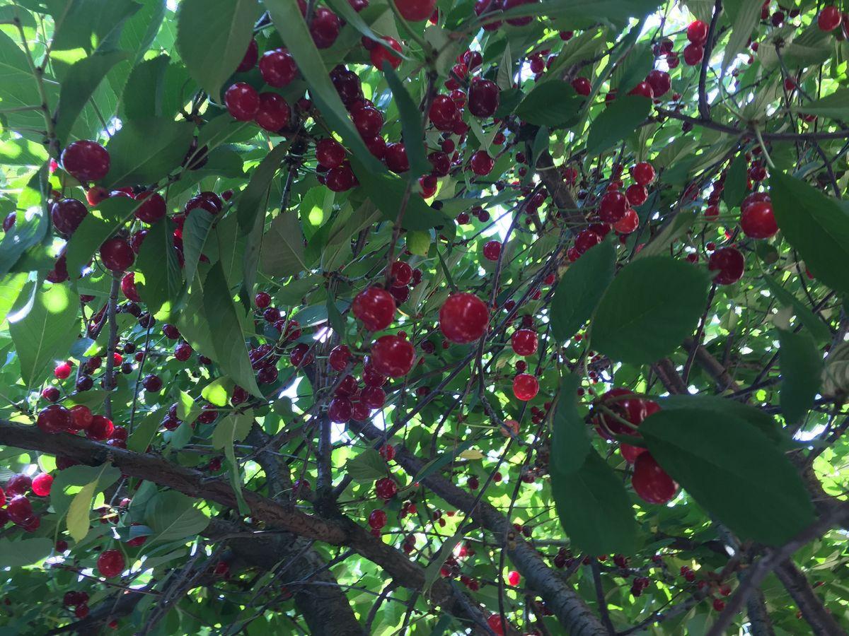 Сорт вишни Живица
