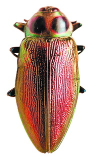 Златка – один из самых  красивых жуков в коллекции. Жуки семейства жесткокрылых распространены на всех континентах и островах, кроме Арктики.