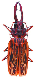 Усач-большезуб – самый большой жук коллекции – 13 см. Один из самых крупных жуков в мире. Максимальная зарегистрированная длина самца – 17 см.