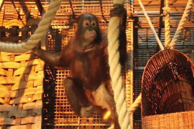 В Калининградский зоопарк прибыли два орангутанга. Фото: сайт kgd.ru