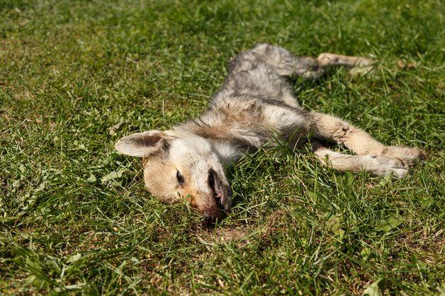 Убитая волчица оказалась еще молодой. Фото: Александр КОРОБ