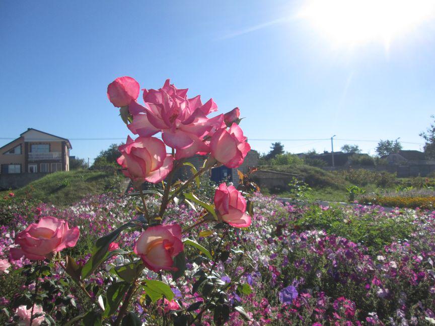 Осенью еще цветут розы. Фото: Татьяна НЕКРАШЕВИЧ