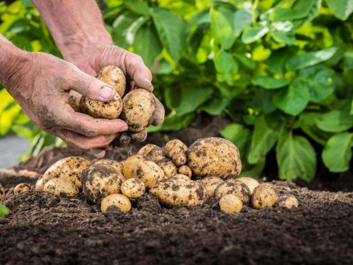 Уборку картофеля нужно закончить до того, как средняя температура воздуха в сутки в среднем будет +5 градусов. Фото: vselhoz.ru