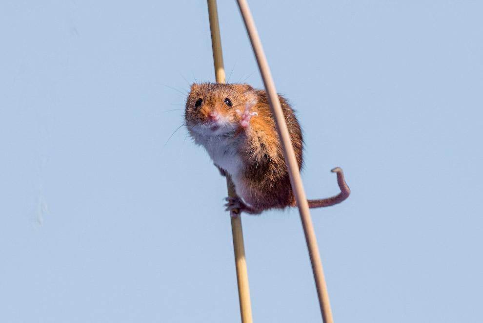 Всем привет! Мышь на полях Англии. Фото Michael Erwin