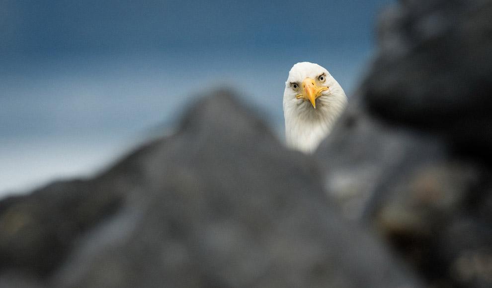 У таких серьезных птиц, как белоголовый орлан, не бывает игривого настроения. Фото Will Saunders