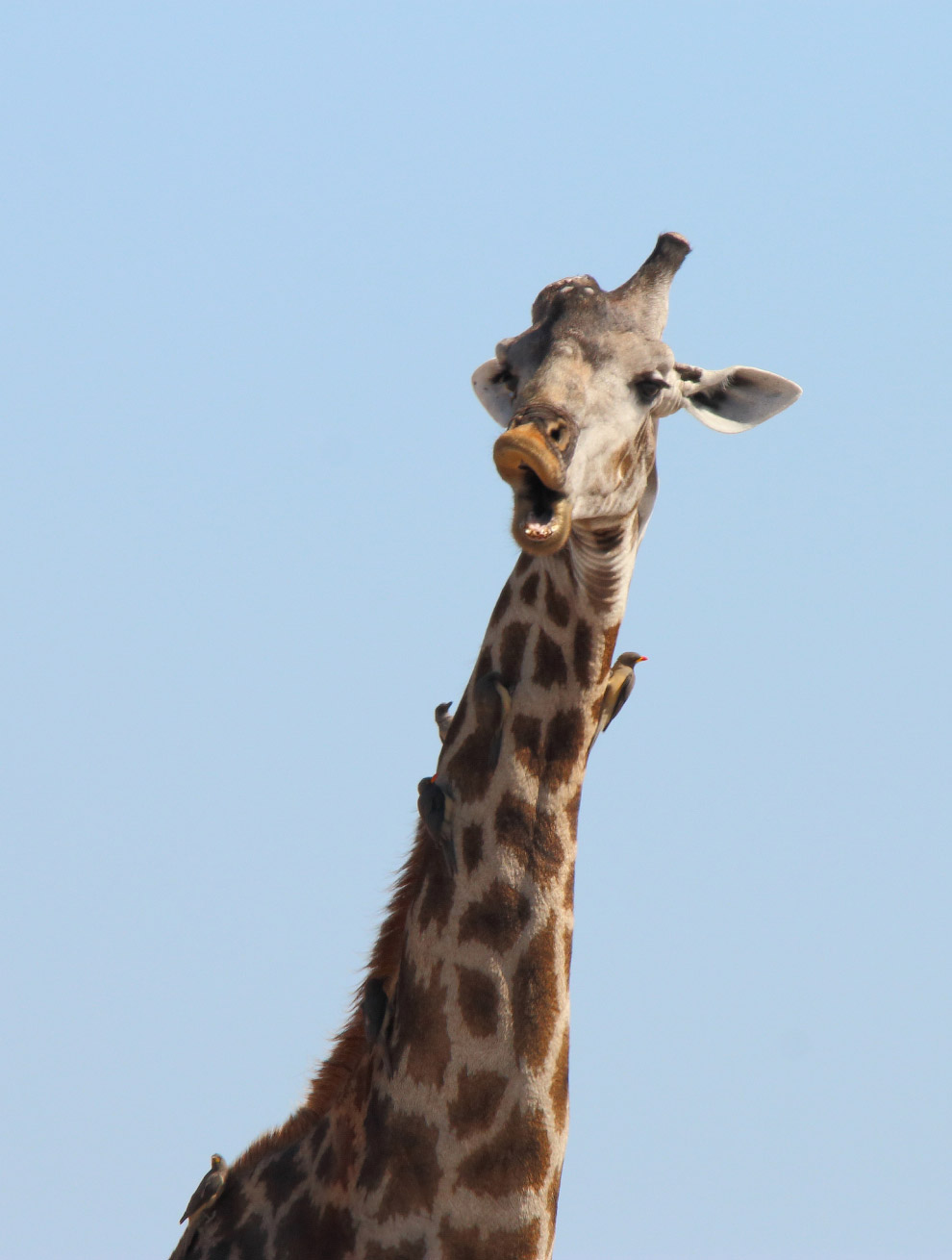 Удивленный жираф. Фото Monika Carrie