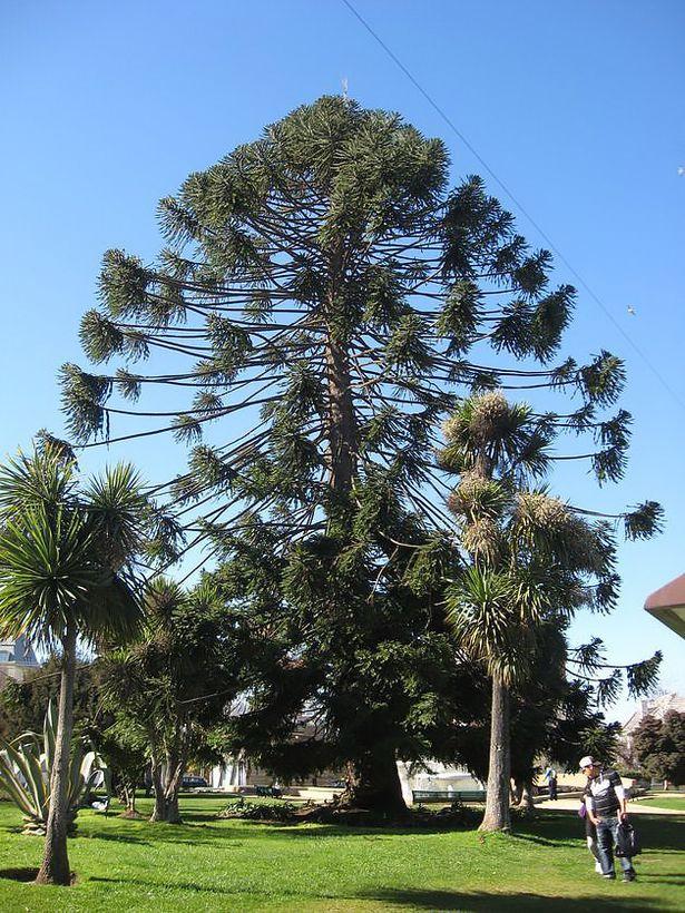 Араукария – чилийское дерево, похожее на елку. Фото: из личного архива.